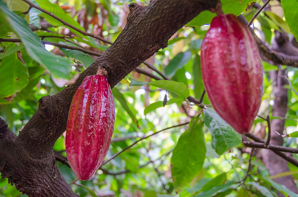 Cacao fruit on the tree | Hawaiian Crown's Big Island Chocolate Farm, near Hilo, Hawaii