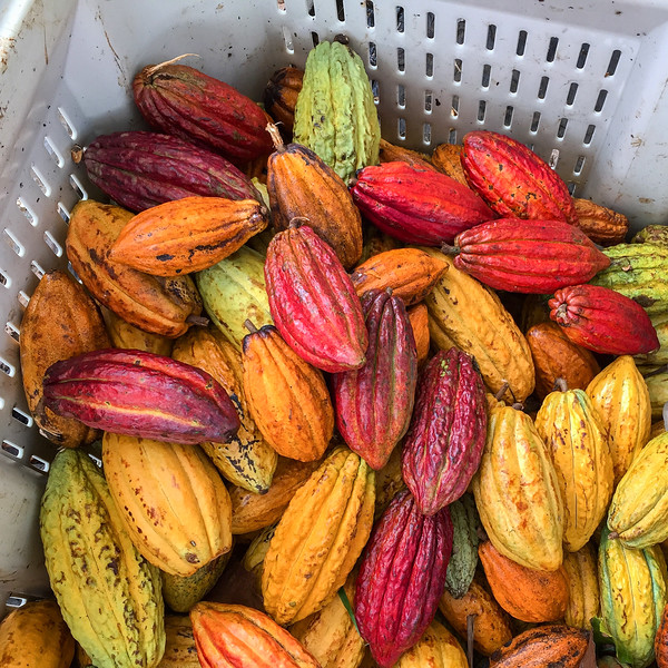 The many color variations of cacao | On a Big Island chocolate farm tour, near Hilo, Hawaii