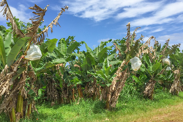 Bananas covered with plastic bags to deter insects | Touring Hawaiian Crown Chocolate's cacao farm, in Hilo, Hawaii