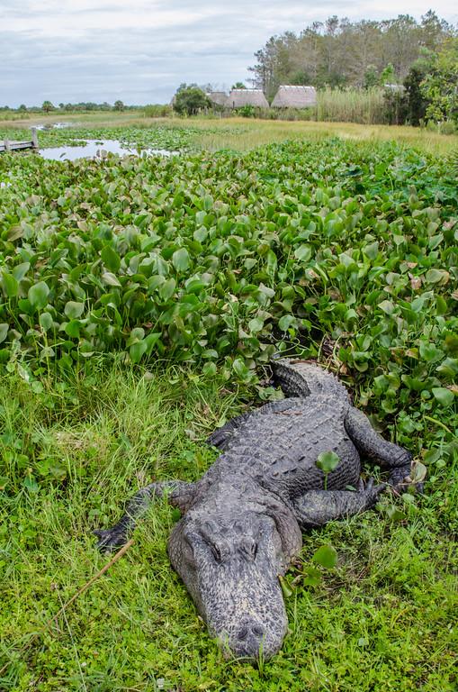 An alligator in the swamp at Billie Swamp Safari, Florida.