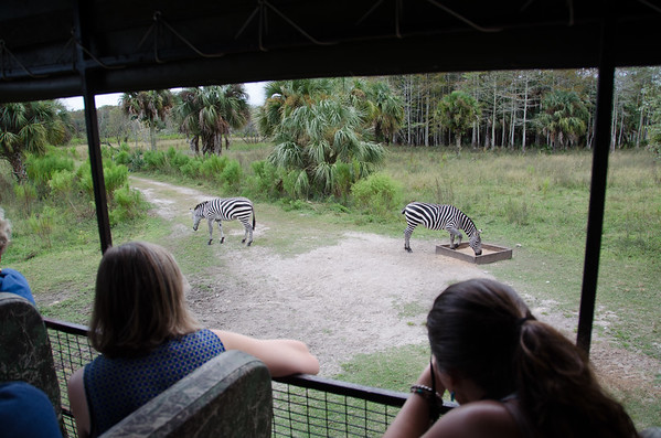 Spotting zebra on a tour of Billie Swamp Safari, on the Big Cypress Reservation, Florida