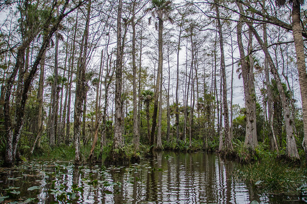 On an Everglades airboat ride through the swamps of Billie Swamp Safari, Florida.
