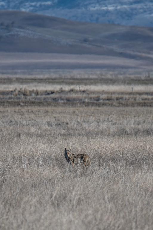 A coyote in the Lower Klamath Wildlife Refuge, near Klamath Falls
