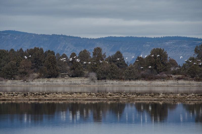 Snow geese on the Skillet Handle peninsula | Hiking at Running Y Ranch, Klamath Falls, Oregon