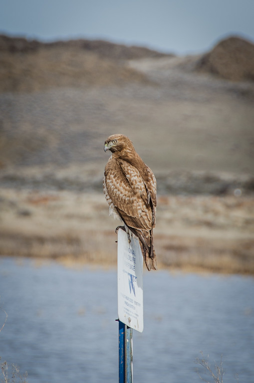 A hawk on a signpost near Tulelake, California
