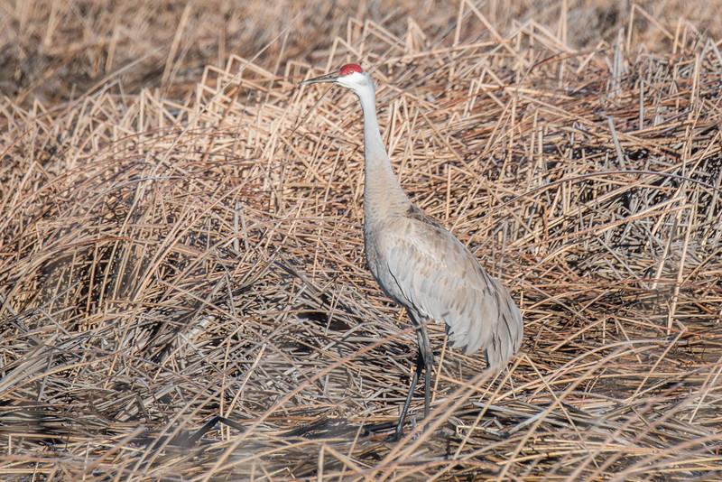 Sandhill Crane in the Lower Klamath Wildlife Refuge, near Klamath Falls