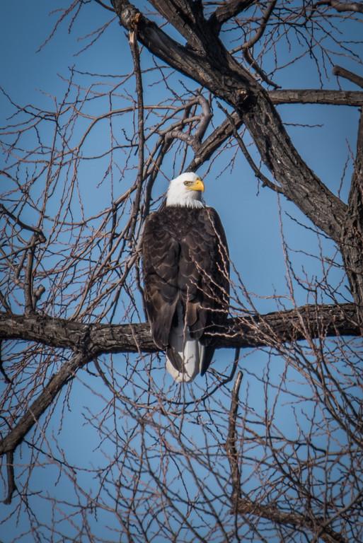 Bald eagles in Winter: Klamath Falls, Oregon
