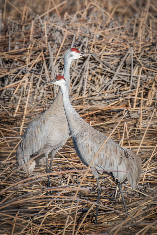 Sandhill Crane mating dance in the Lower Klamath National Wildlife Refuge, California