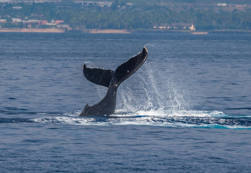 A humpback whale doing a peduncle throw. Photos from a Maui whale watch tour