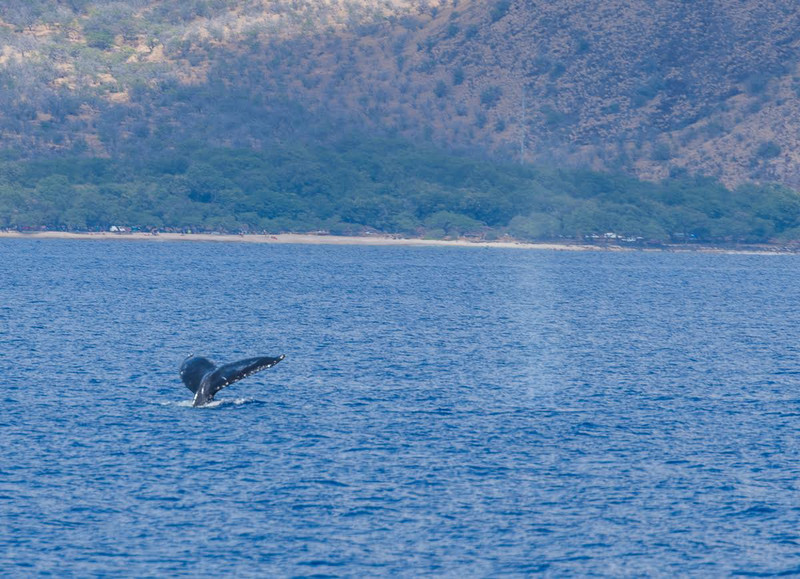 Whale watching in Maui - diving whale fluke