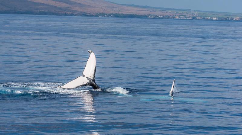 Whale watching in Maui - a humpback whale fluke!
