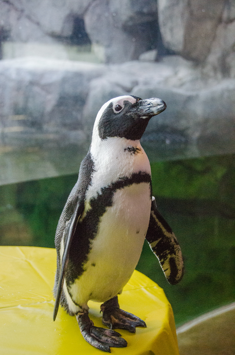 Pittsburgh penguins at the National Aviary