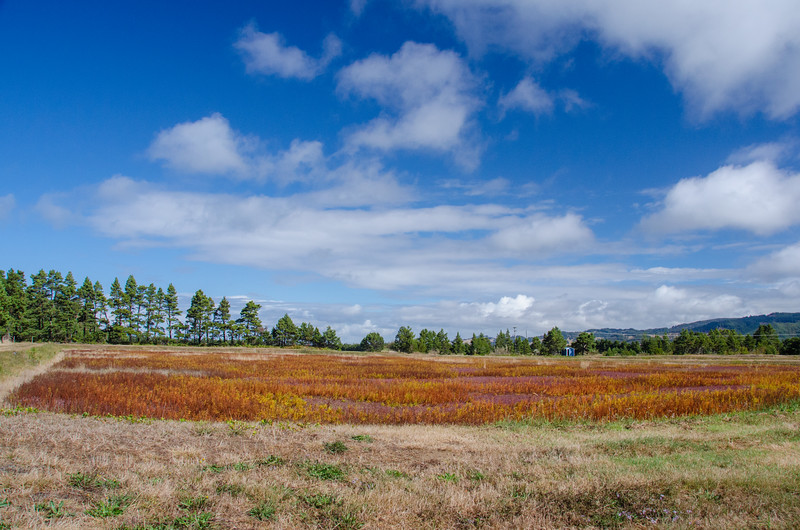 Cranberry fields (also called cranberry bogs!) near Bandon, Oregon