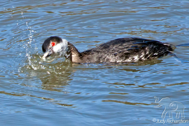 Eared Grebe fighting a fish at Newport Beach Back Bay