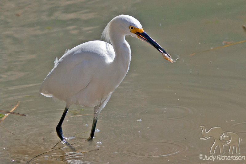 Snowy Egret with shrimp at Bolsa Chica Ecological Reserve, Huntington Beach
