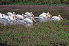 White Pelicans at Moss Landing