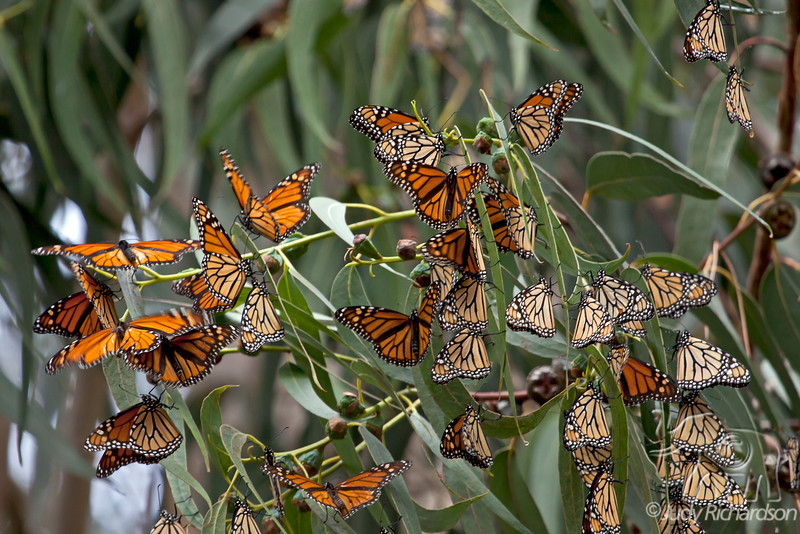 Monarch Butterflies just arriving in Pacific Grove