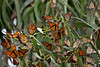 Beautiful Monarch Butterflies returning to Pacific Grove