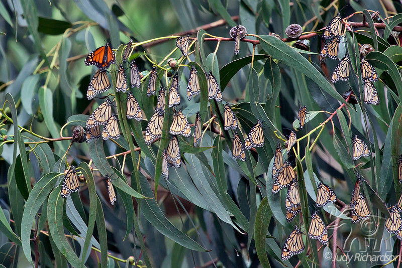 Monarch Butterflies folded up~looking like leaves on the trees in Pacific Grove