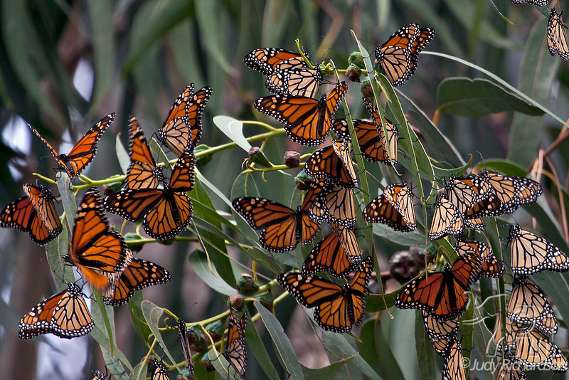 Monarch Butterflies opening up after just arriving in Pacific Grove