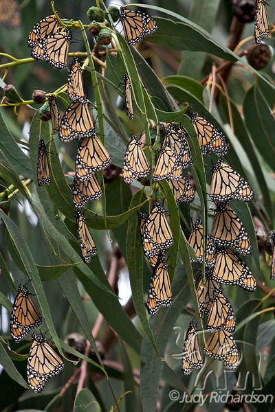 Monarch Butterflies folded up in Pacific Grove
