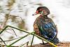Male Wood Duck @ Neary Lagoon ~ 8-2015