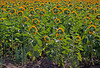 Field of Sunflowers look away toward the sun