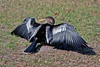 Anhinga drying our wings