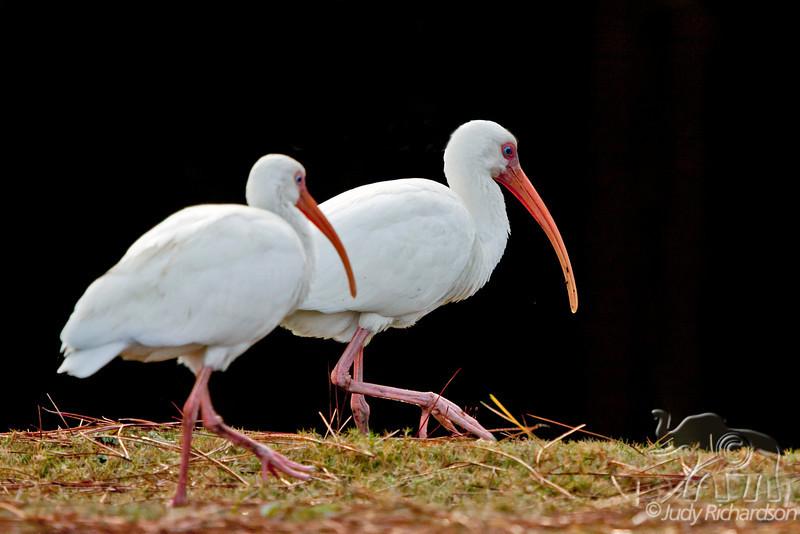White Ibis at Hilton Head