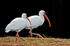 White Ibis at Hilton Head