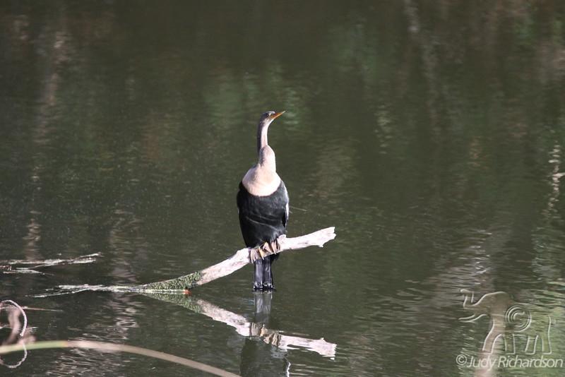 """Anhinga also known as """"Snake Bird"""""""