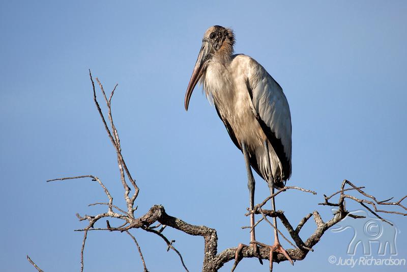 Wood Stork~Little Tybee Island State Heritage Preserve