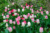 Bright Tulips in Central Park
