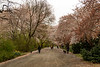 Cherry Blossom Path in Central Park