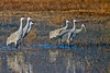 Sandhill Cranes in Early morning light at Bosque del Apache, New Mexico