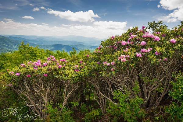 Roan Mountain Rhododendrons