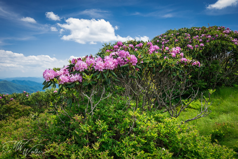Rhododendron Thicket