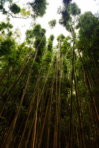 Bamboo Forest, Oahu