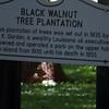 Black Walnut Tree Plantation sign