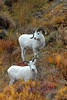 Dall sheep we encountered while driving on the Denali Road.