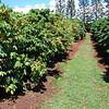 Kauai Coffee Company plantation