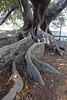 Roots of the Moreton Bay Fig tree