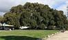 Moreton Bay Fig Tree in Santa Barbara. See description on next page.
