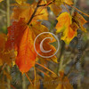 Montana_autumnleaf_7046a3