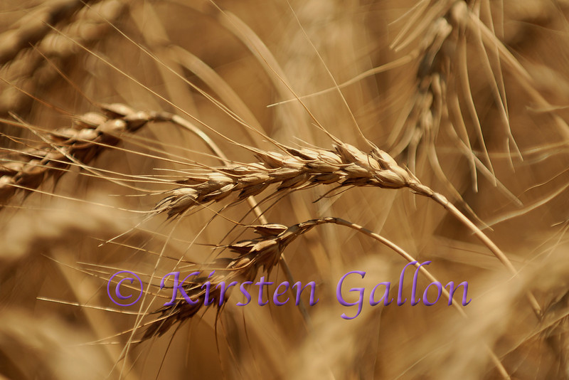 The heads of the wheat where the grain is located.