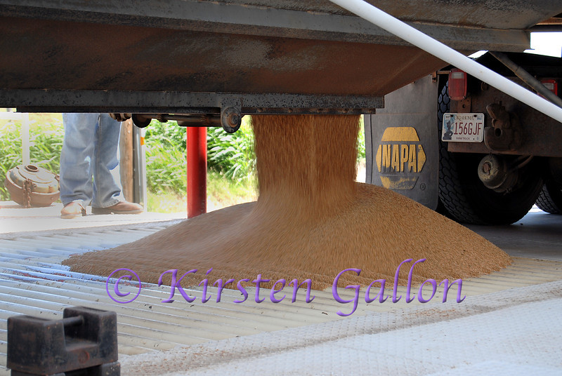 Close-up of the wheat draining out of the truck into the bin below.