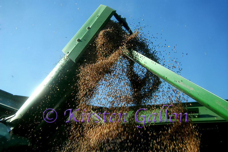 After the wheat has been cut, it travels through the combine which separates the grain from the wheat head.  The grain then comes through this auger into the bin directly behind the cab of the combine.