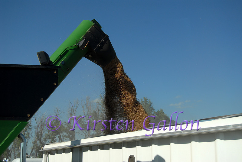 The grain swirls its way out of the auger and into the waiting truck.