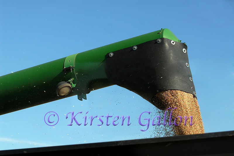 Even closer view of grain coming out of the auger and into the grain cart.