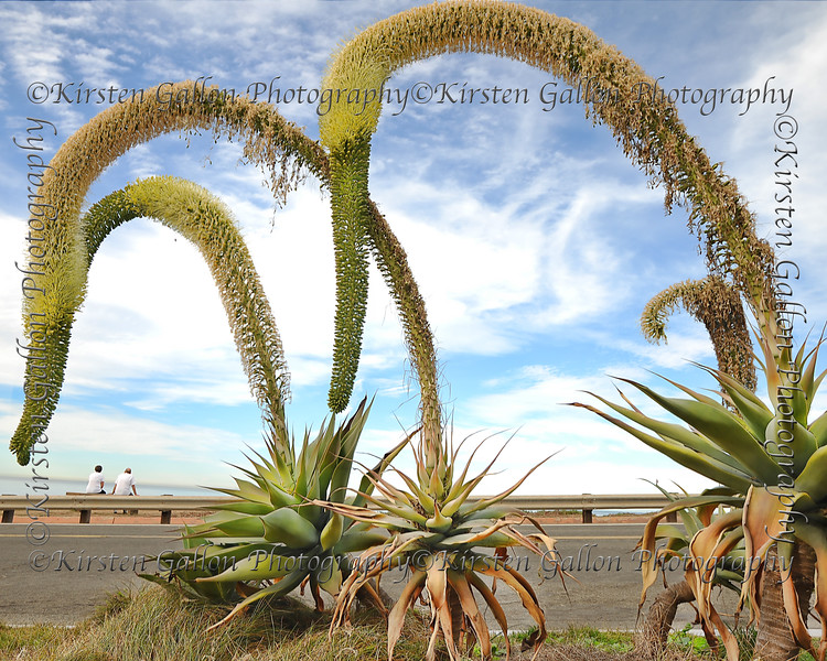 Yucca Plants at Sunset Cliffs